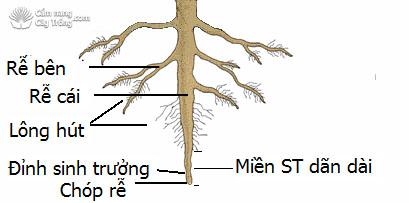có phải tất cả các rễ cây đều có miền hút không vì sao