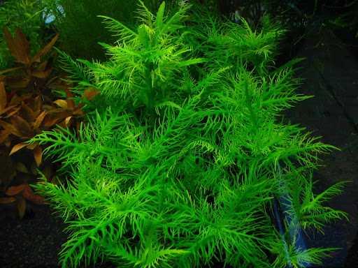 tại sao khi nuôi cá cảnh trong bể kính người ta thường thả thêm vào bể các loại rong